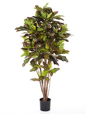"""Croton """"Petra"""""""