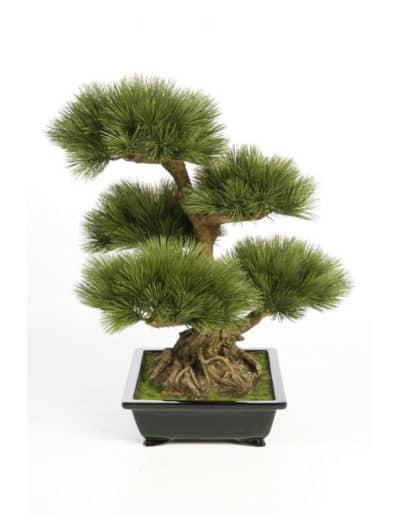 Pinus Bonzai