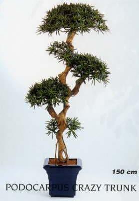 Podocarpus Crazy Trunk