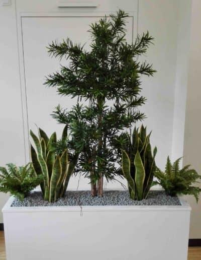 Podocarpus mit Sansevieria + Farnen
