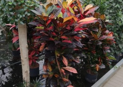 Hydropflanze Croton icetone