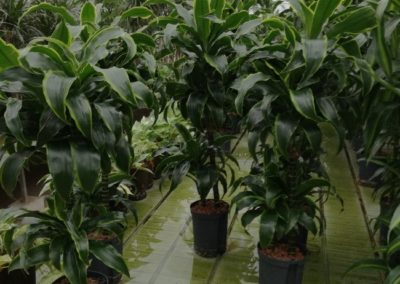 Hydropflanzen Dracaena- Drachenbaum
